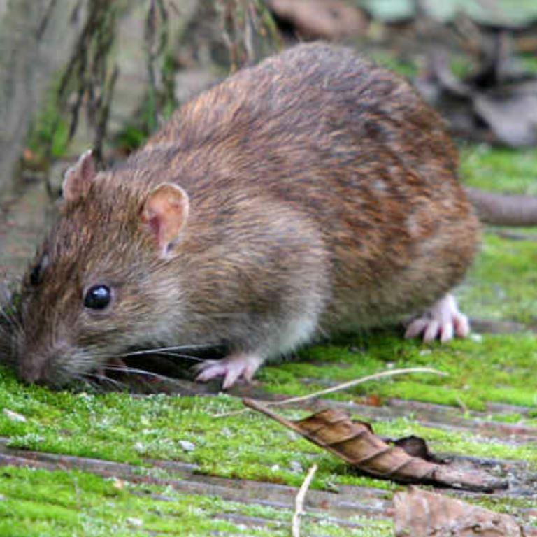 Dératisation des rats