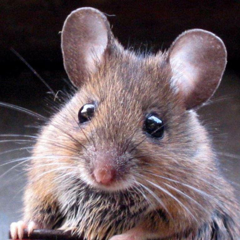 Dératisation des souris